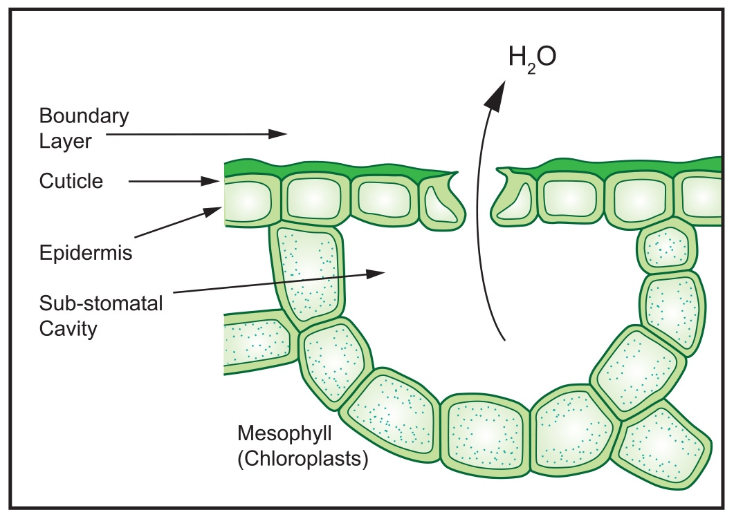Transpiration Through Stomata