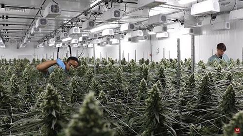 Revolutionary Clinics Cannabis flower trimmers