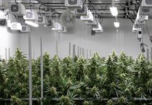 Cannabis Grow Room with plants