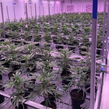 RevClinics Cannabis Cultivation Flowering Room
